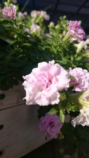 今朝の花(*^^*)