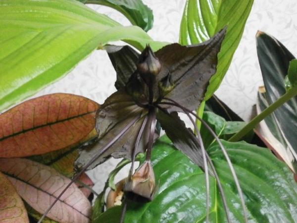 タッカシャントリエの花