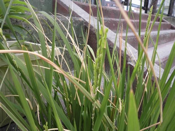 稲の花が・・・