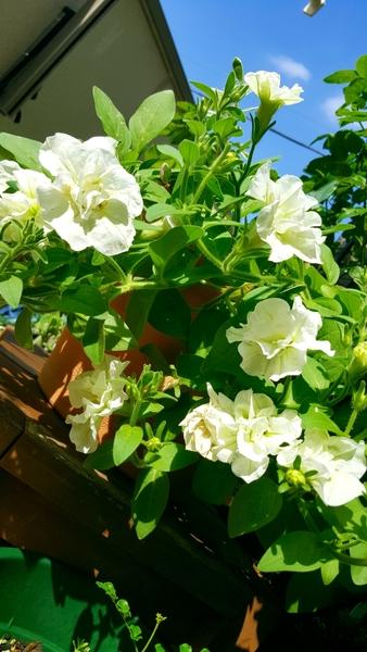 八重咲きペチュニアの今