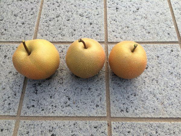 豊水梨の収穫8月13日