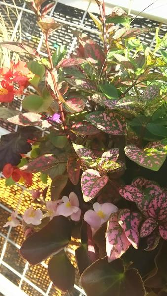 ヒポエステスの花🎆