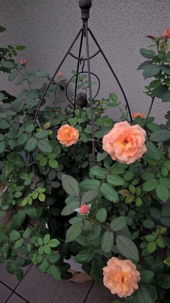 夏バラ咲かせてます