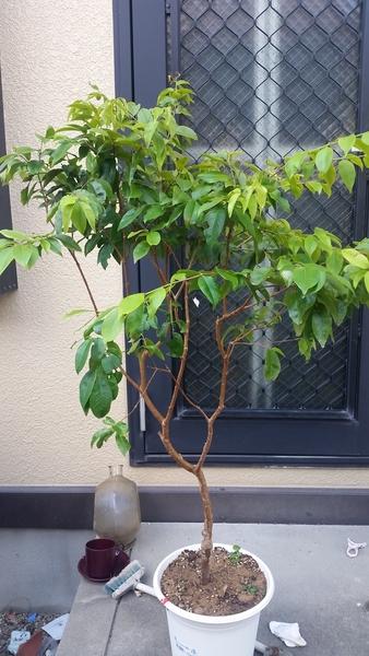 ジャボチカバ(四季なり種)