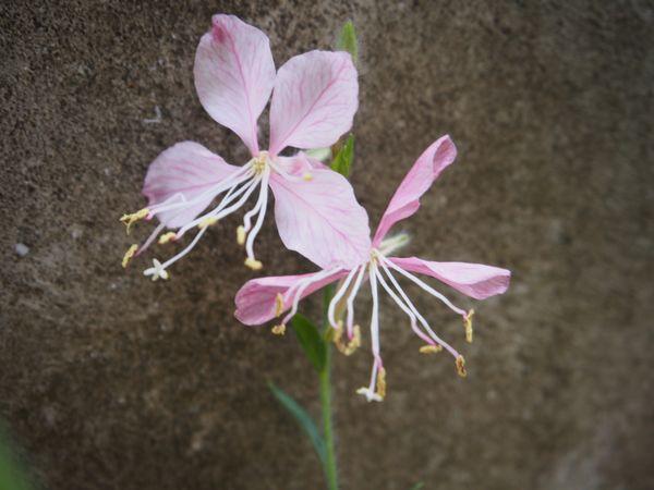 初花のガウラとビオラ