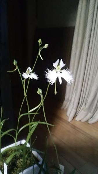 サギソウ咲きました