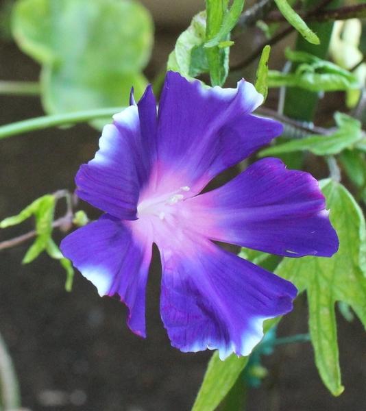 変化朝顔 青葉濃紫覆輪台咲牡丹