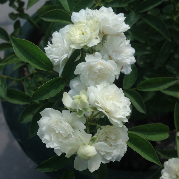 今朝元気なバラ…「アンヌ マリー ド モンテヴェル」‼️