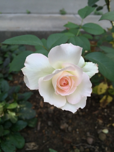 咲きたがり