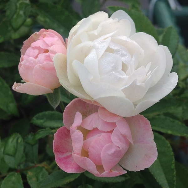 今朝の元気なバラ…「スィートマザーズデイ」‼️