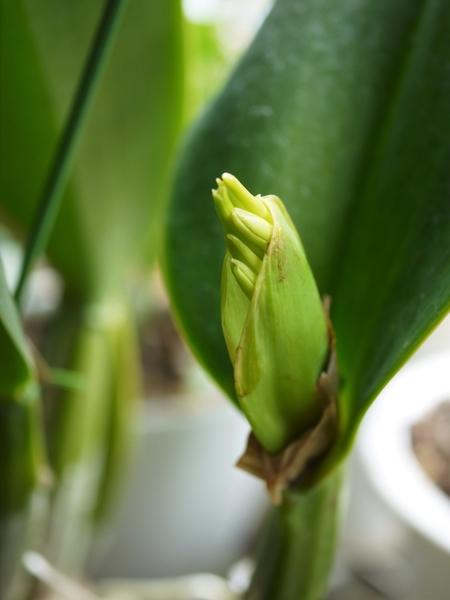 カトレアの蕾と、スタンホペアの花芽?