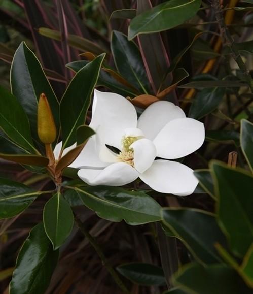 四季咲タイサンボク