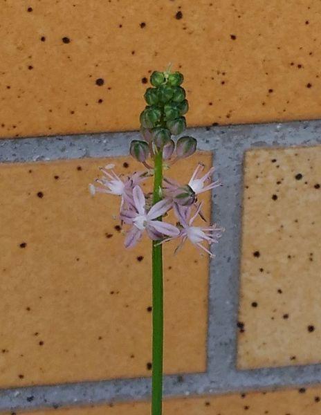 ツルボが咲きました