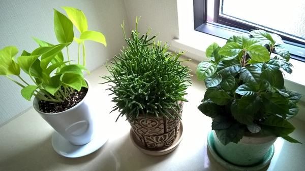 観葉植物 三種仲間入り