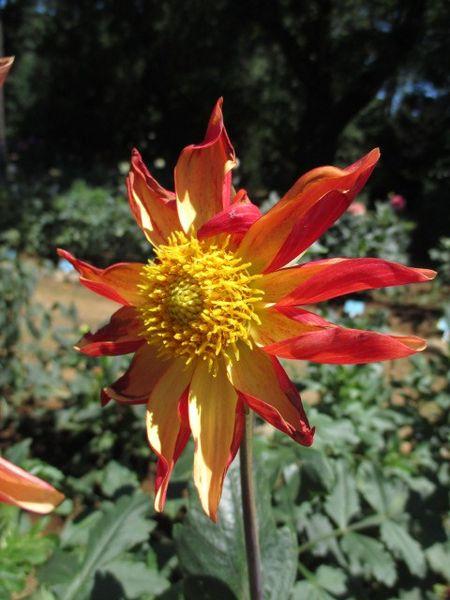 神代植物公園のダリアあれこれ。