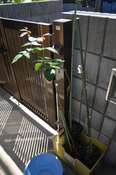 昨日バラの芽接ぎした