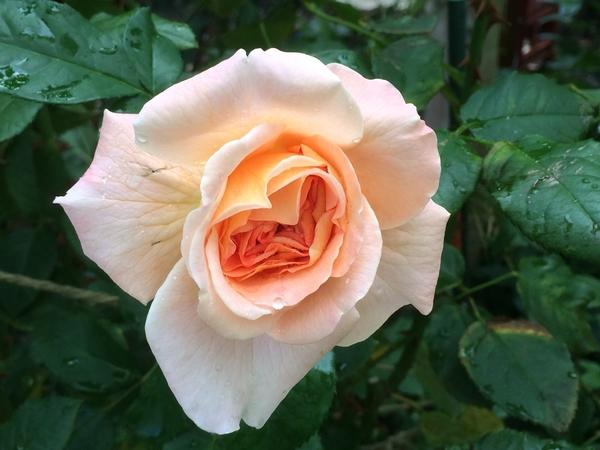 今日のバラ 0901