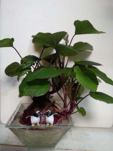 サツマイモの水栽培(2)