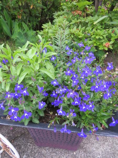 ブルーサルビアが再び開花してます!