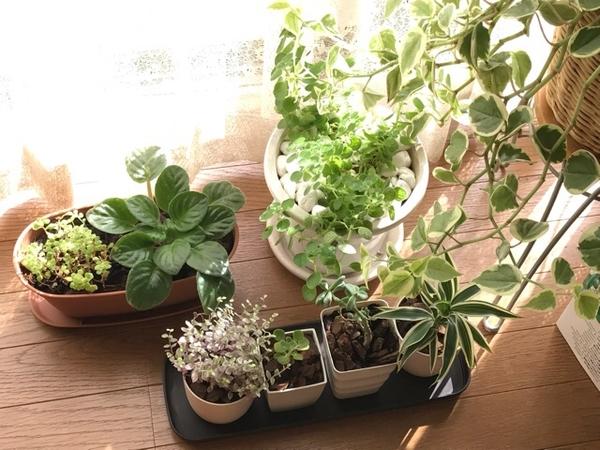 観葉植物ーサンデリアーナ仲間入り