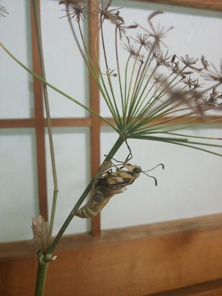 キアゲハの羽化✨