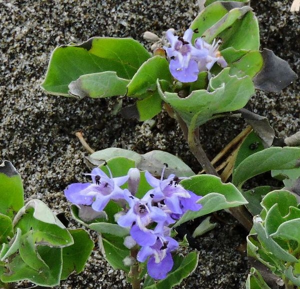 浜に咲く花~ハマゴウ