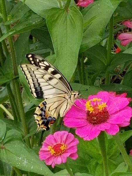 4匹目のアゲハチョウ