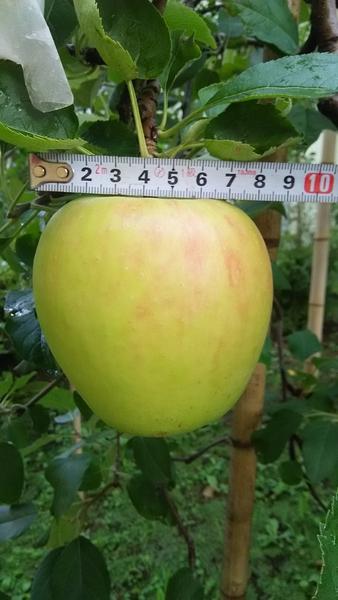 林檎栽培の一年間7(薬剤散布、肥大状況)