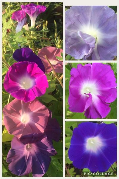 うちの花。アサガオと〜