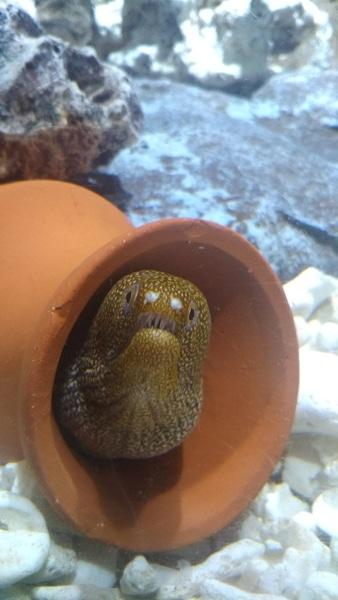 稚魚 ウツボ