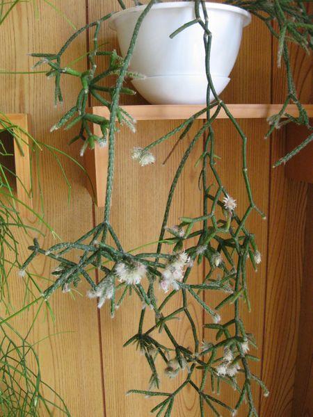 リプサリス ピロカルパ開花 みんなの趣味の園芸 Nhk出版 いろどりさんの園芸日記