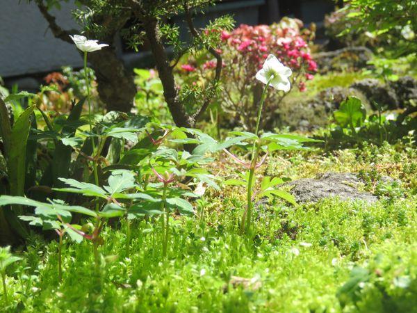 苔庭の白い花