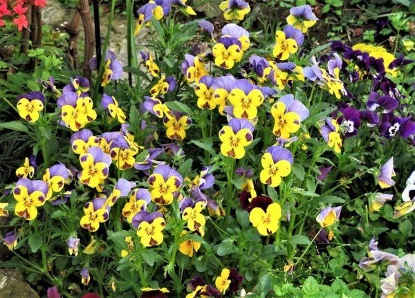 盛り上がるパンジービオラの花