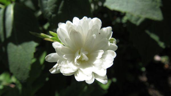 八重菊咲一華