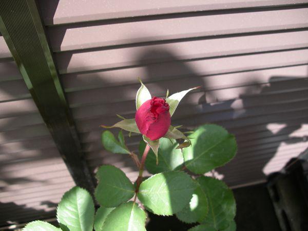 バラ開花直前