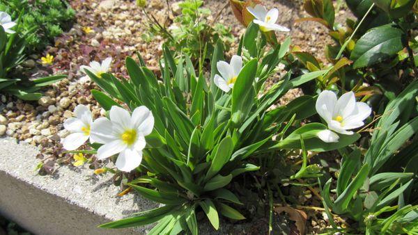 咲き始め-姫庭石菖