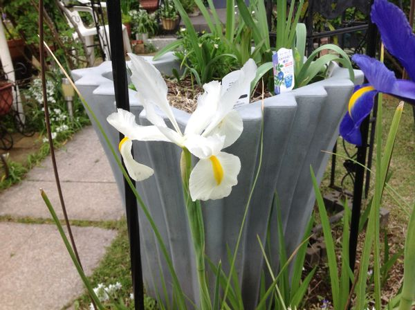 アイリスの花、花弁が色々