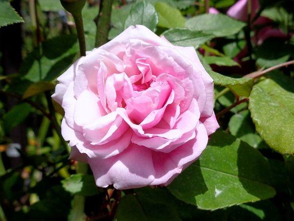 今日の園芸作業・・・バラの薬散