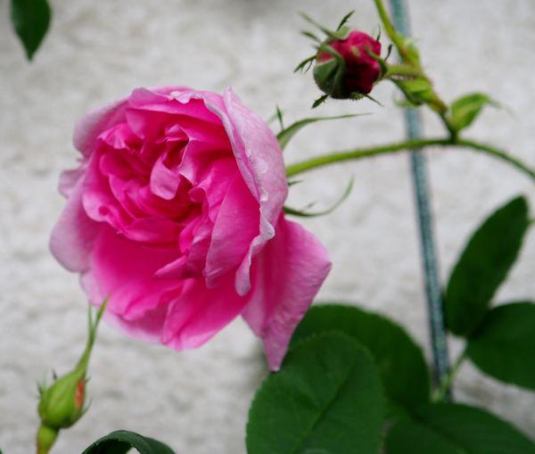 バラ、一文字菊、アネモネ