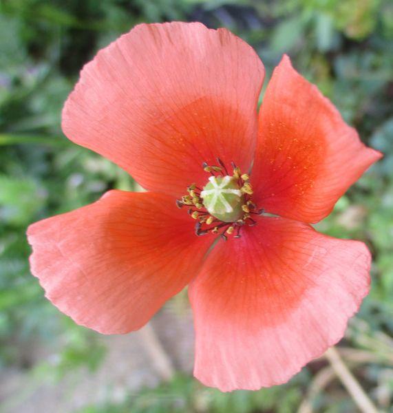 4/20  ナガミヒナゲシ、クローバーの花