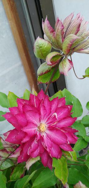 今朝の花 クレマチス