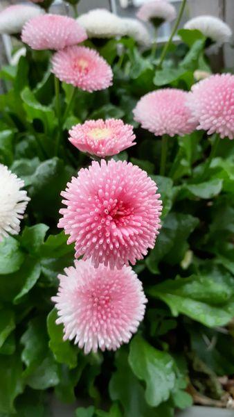 ふくおかルーバルガーデン2~春の🌸🌿庭たより…満開の雲南萩~花びらを揺らします。...