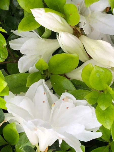 白いツツジが咲きました。
