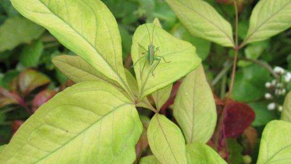 キリギリスの幼虫~❔😞❔