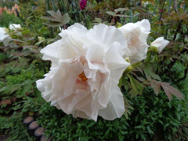 白の牡丹も咲きました(^^♪