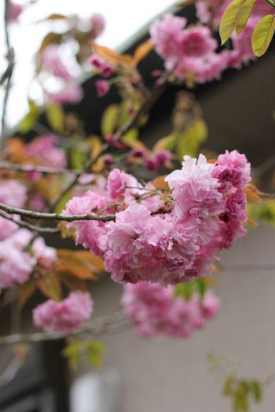 八重桜のころ
