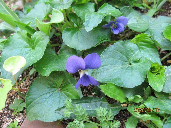 庭のスミレ3種