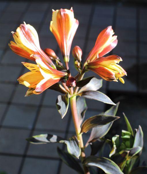 アルストロメリアが咲きだす