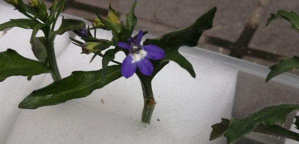アズーロコンパクトに花が