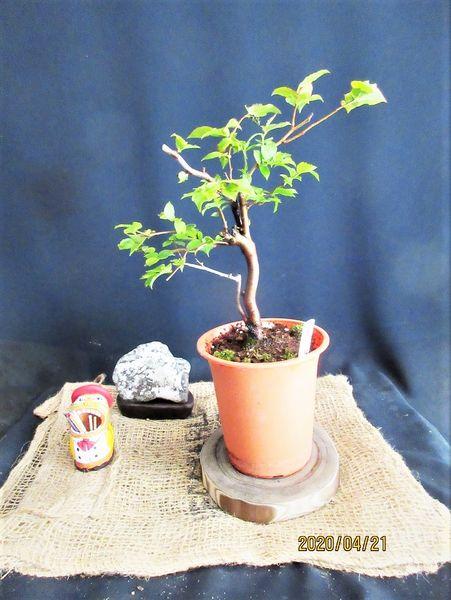 新枝が伸びない『夏はぜ』の植え替え。
